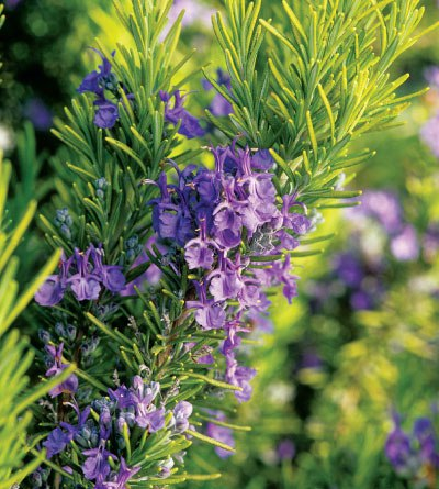 rosemary-tuscan-blue